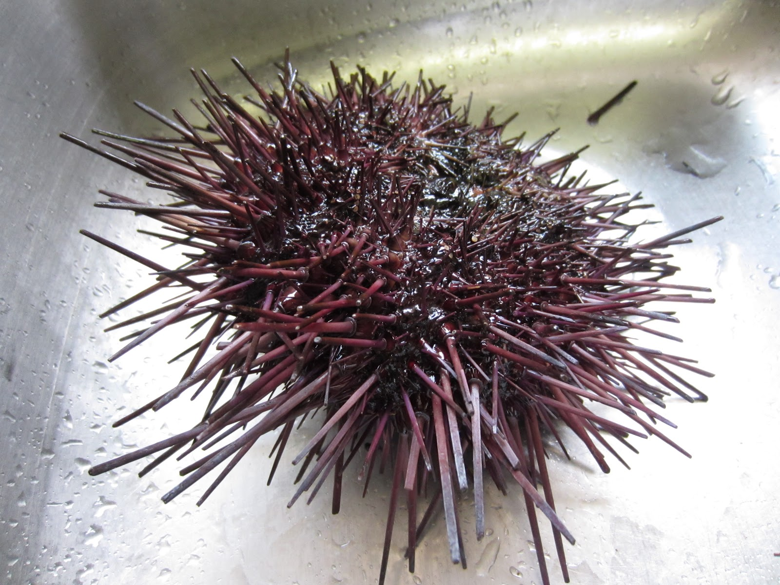 how to open sea urchin